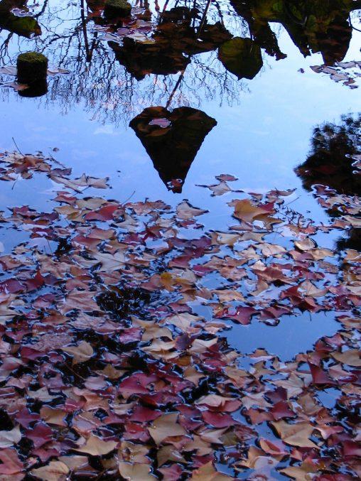 蓮の影法師 – Lotus shadow