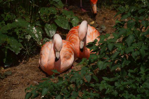 ベニイロフラミンゴ – American Flamingo