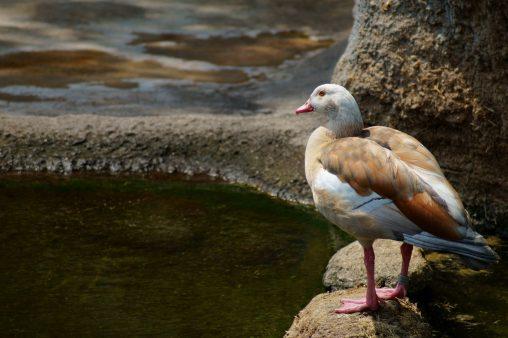 カバの友達 – Duck