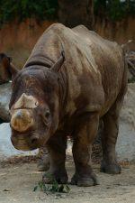 クロサイ – Black rhinoceros