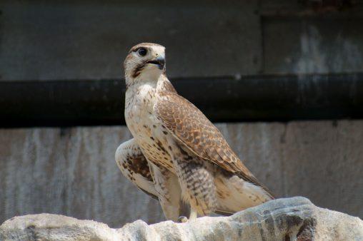 セーカーハヤブサ – Saker falcon