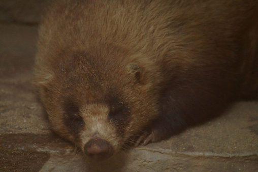 ニホンアナグマ(おねむ) – Sleepy badger