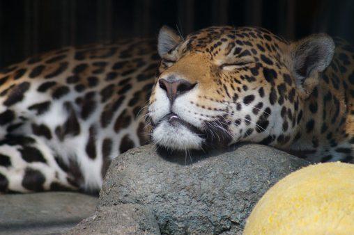 ジャガー(おねむ) – Sleepy jaguar