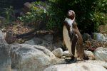 ひとり – Humboldt penguin