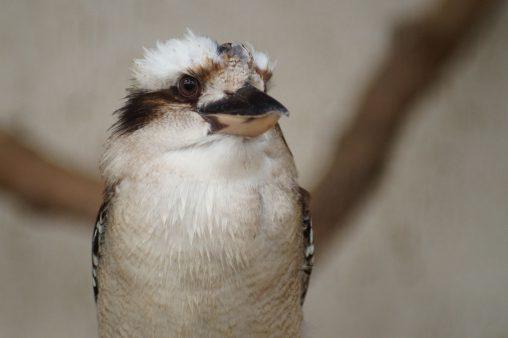 キメ顔ワライカワセミ – Laughing Kookaburra
