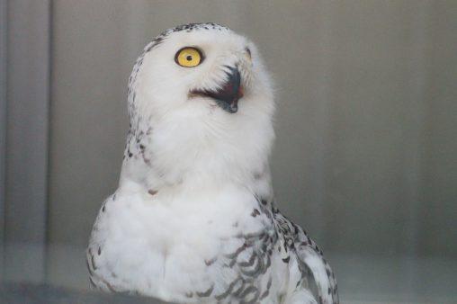 シロフクロウ – Snowy Owl