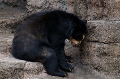 うなだれ – Spectacled bear