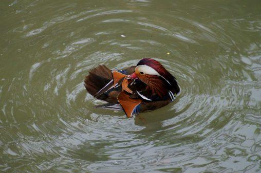 オシドリの波紋 – Mandarin duck