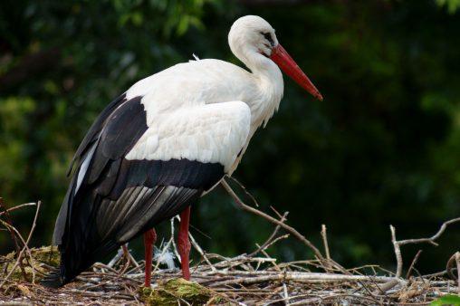 シュバシコウ – White Stork
