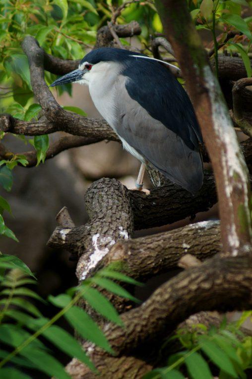 樹上のゴイサギ – Night heron