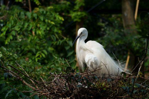 巣にいるコサギ – Little egret