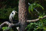 アオサギ – Grey heron