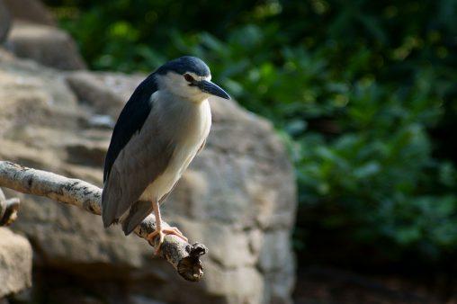 枝先のゴイサギ – Night heron