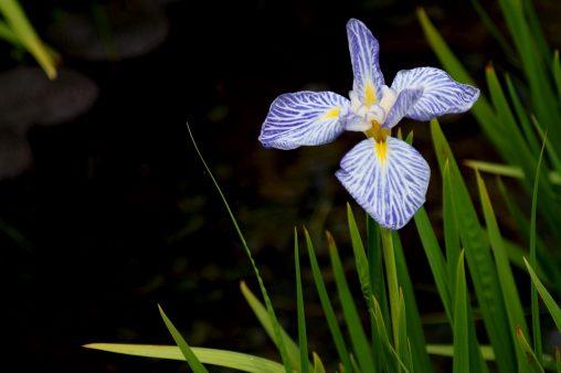 花菖蒲「扇寿」 – Iris