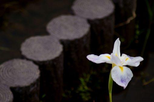 花菖蒲 – Iris