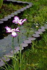 花菖蒲「万台の波」 – Iris