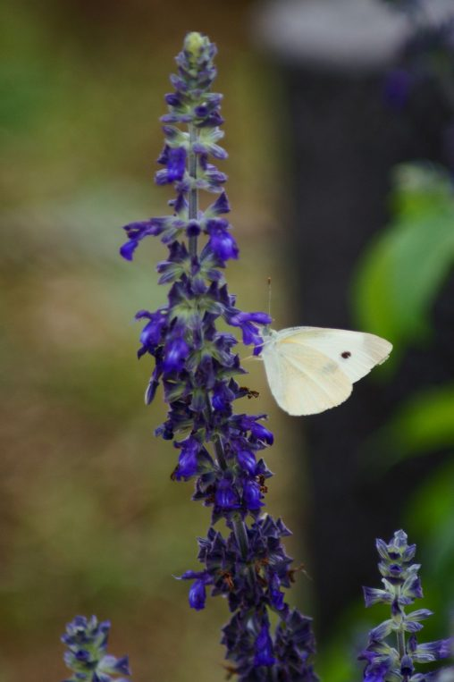 ラベンダーにモンシロチョウ – Small White