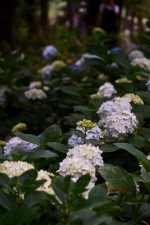 アジサイの園 – Hydrangea garden