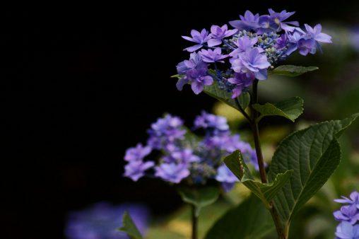 八重咲きガクアジサイ – Hydrangea