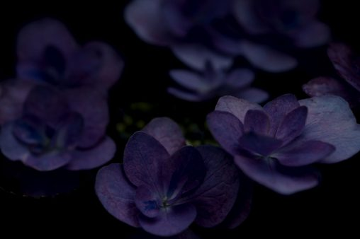 暗紫色 – Hydrangea