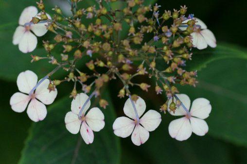 ヤマアジサイ – Hydrangea serrata