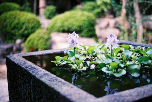 ホテイアオイ – Water Hyacinth