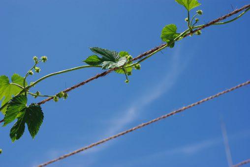 撚り合わせ – Ropes and Ivy