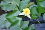 蓮一輪 – Lotus flower