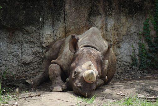 暑さにぐったりするクロサイ – Black Rhinoceros