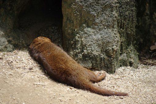 暑さにぐったりするコビトマングース – Dwarf Mongoose