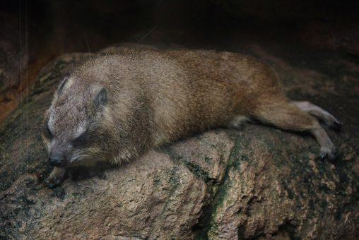 暑さにぐったりするケープハイラックス – Cape Hyrax