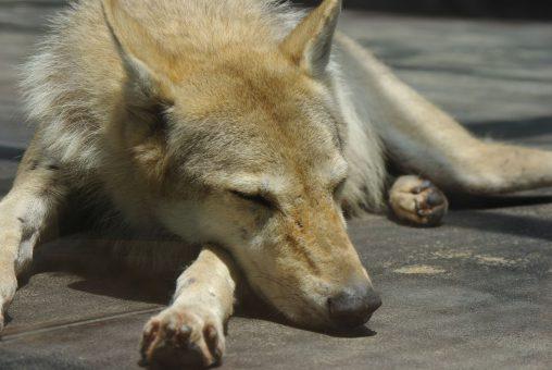 暑さにぐったりするチュウゴクオオカミ – Chinese wolf