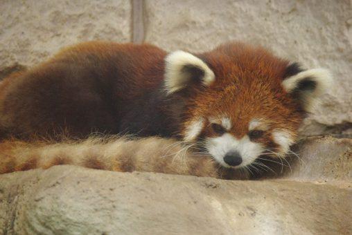 日陰に逃れるレッサーパンダ – Lesser panda