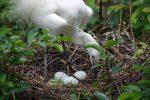 巣を守るコサギ – Little Egret