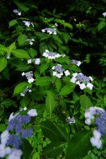 小さく満開 – Hydrangea serrata