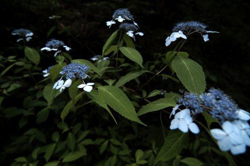 金剛山登山道のヤマアジサイ – Hydrangea serrata