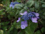 小さなアジサイ – Hydrangea