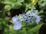 咲き始め – Hydrangea
