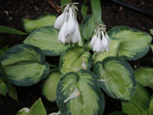 濡れギボウシ – Plantain Lily