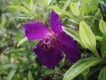 ノボタン – Spider flower
