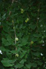 銀杏 – Ginkgo nuts