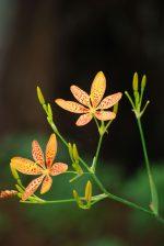ヒオウギ – Leopard flower