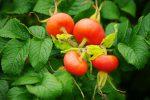 シロバナハマナスの実 – Fruit of Rosa rugosa Alba