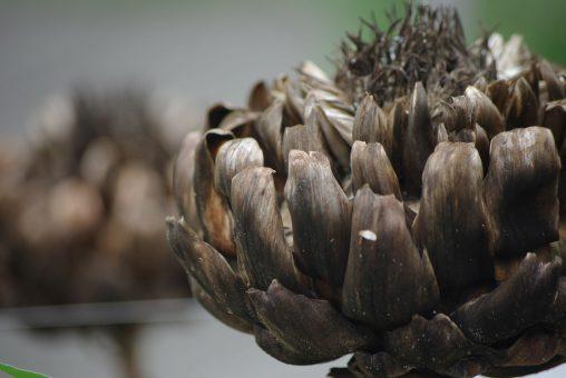 枯れたアーティチョーク – Withered artichoke
