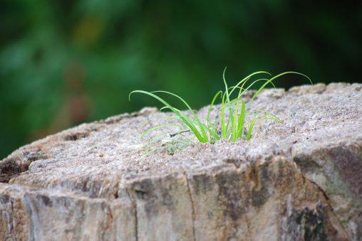 どこからでも – Grass on stump