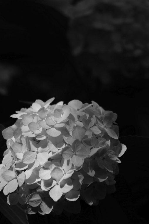 白玉 – Hydrangea