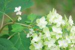 反骨精神 – Hydrangea quercifolia
