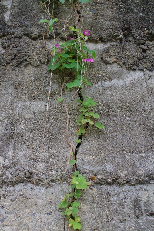ムラサキカタバミ – Violet wood-sorrel
