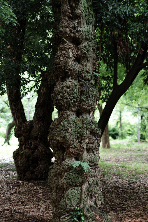 瘤のついた木 – Swelled tree