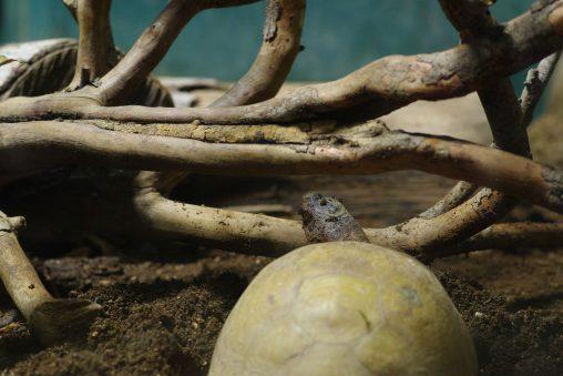 アメリカハコガメ – Common box turtle